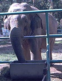 Elefant dupa gratii